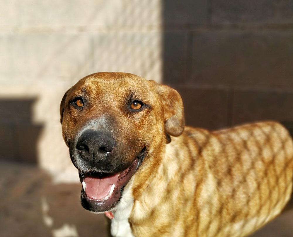 Labrador en adopción