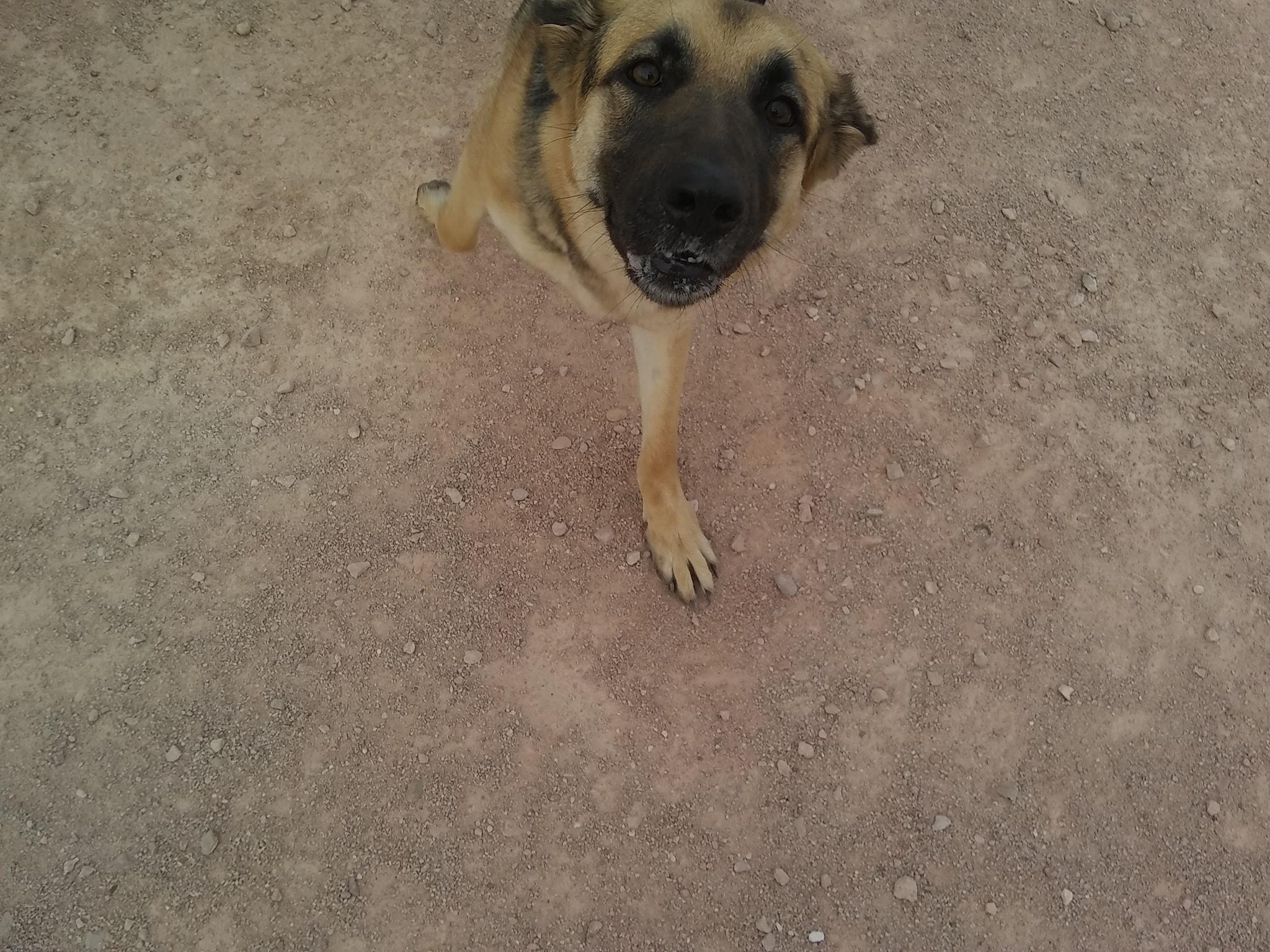 Shiba perros en adopción